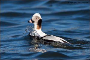Long-Tailed Duck surfacing by gregster09
