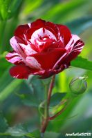 Beautiful rose1 by malaladanila