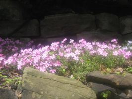 Northern wild pink by CotyStock