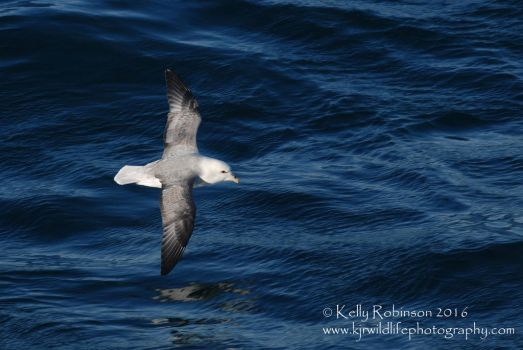 Fulmar Flight by Shadow-and-Flame-86