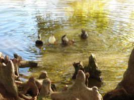 Ducks Dabbling by matrix7
