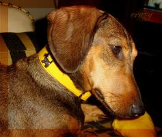 Laddy got yellow collar by lioness14