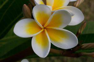 Frangipani by wilderBeest