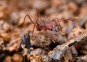 A little ant by ricardsan