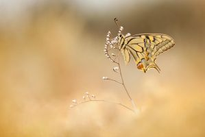 Papilio machaon by buleria