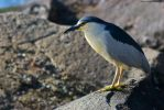Bird on a rock near Morro Rock in Morro Bay by SWDPhoto