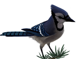 Blue Jay by Sherushi