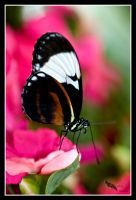 cydno longwing butterfly by chibiharuka