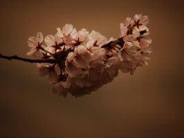 Cherry Blossom by sunsetchaser