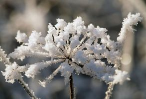 frozen seed head by piglet365