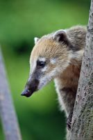 Treed Coati by robbobert
