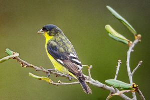Texas Goldfinch (almost mature male)) by clippercarrillo