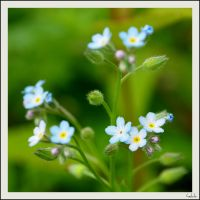 forgetmenot by hekla01