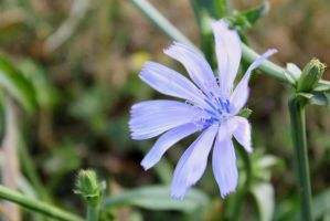 Wild Chicory by Rea-the-squirrel