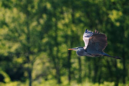 Heron in flight by Kintarotpc