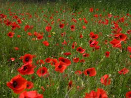 Poppies by johnrichards679