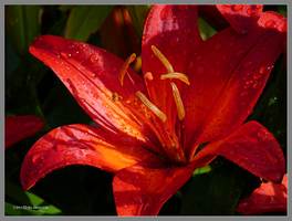 Red lily dramaliza by Mogrianne