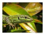 wall lizard 5 by pitto