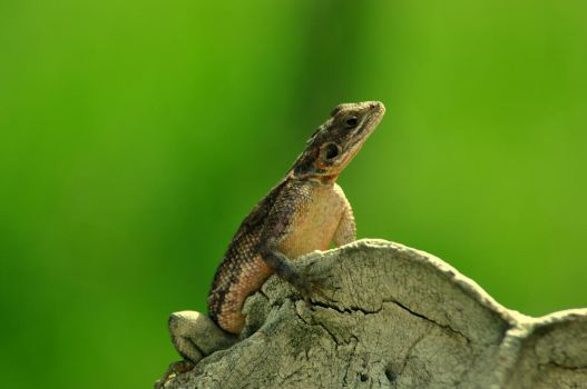 Mid Day Mara Lizard by NikonC