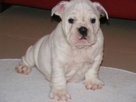 bulldog pups by bevf2003