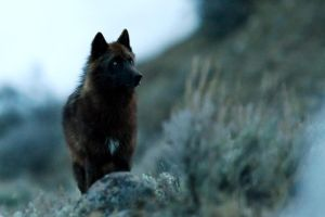 Grey Wolf in Lamar Valley 1 by Iamidaho