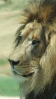 Lion Male - up close 6 by dtf-stock