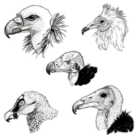 Various Old World Vultures by clairestclara