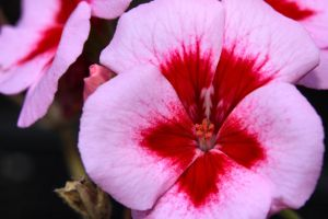 Blushing Geranium by Caloxort