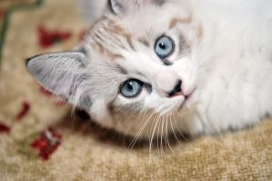 Kitty Blue Eyes by Tracys-Place