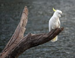 Sulphur Crested Cockatoo 18 by aussiegal7
