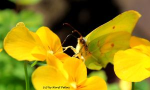Brimstone Butterfly by bluesgrass
