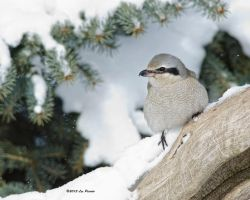 Northern Shrike by Les-Piccolo