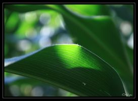 Corn leaves by oxalysa