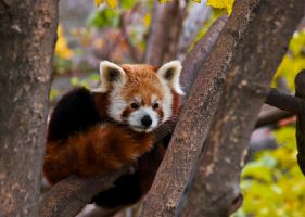 Red Panda III by werram