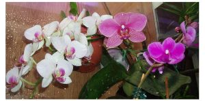 Orchids in a glass cabinet by kate44