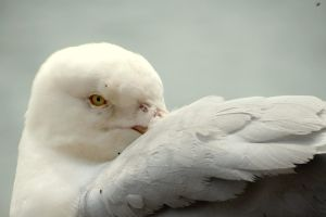 A Wary Herring Gull by gris379
