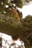 Red Squirrel by RGAllanPhotography