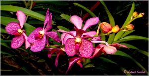 Orchids Of Thailand XV by lukias-saikul
