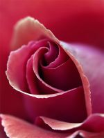 Seduction Rose by andras120