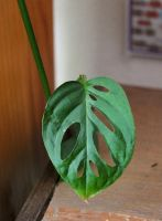 Monstera Obliqua as Plant Totem by lupagreenwolf