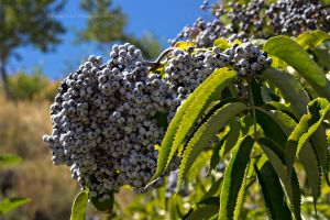 Grouse Berries by melly4260