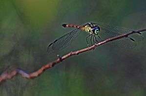 dragonfly 2632 by craigp-photography