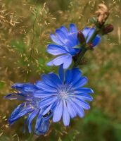 Cichorium by starykocur