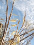 Golden Weeds and Sky by plutoplus1