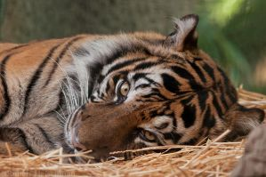 Sumatran Tiger 0027 by robbobert