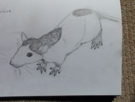 young rat by Stolzer