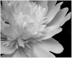 Black and White Flower Study10 by Nay9