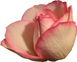 Pale Pink Rose 01 PNG by Thy-Darkest-Hour