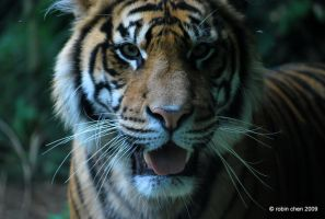 Tiger tiger burning bright... by meihua