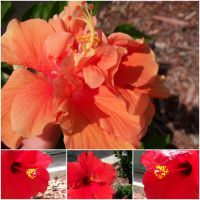 Orange and Red Hibiscus by EuchredEuthanasia